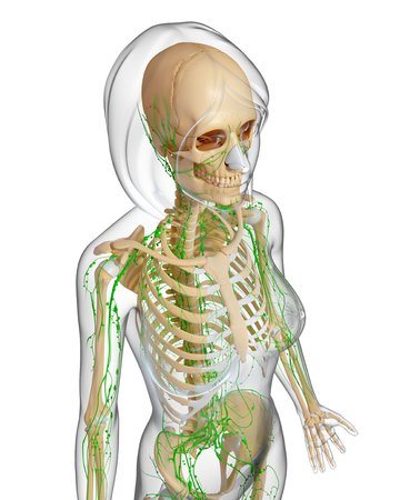 pelvis: Female anatomy,artwork