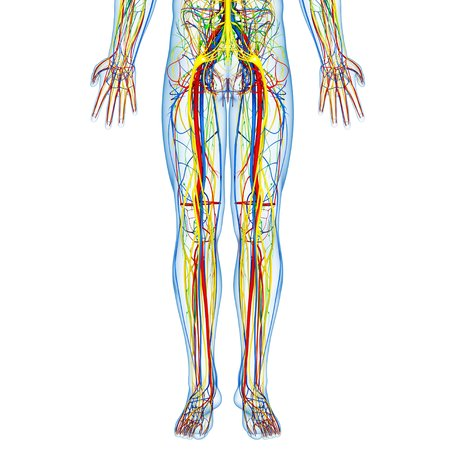 Lower body anatomy,artwork