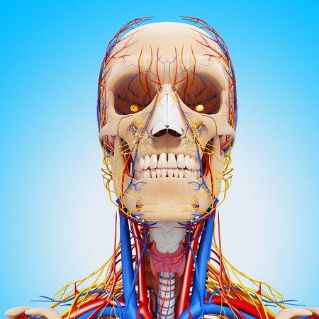 Head anatomy,artwork
