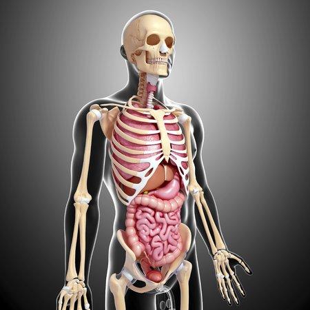 small intestine: Male anatomy,artwork