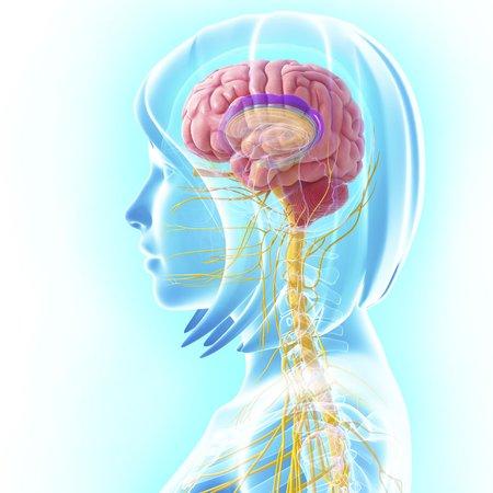 midbrain: Female central nervous system,artwork
