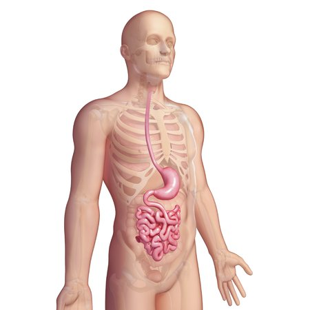 the stomach and intestines: Stomach and small intestines,artwork