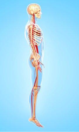 Anatomía Humana, Obras De Arte Fotos, Retratos, Imágenes Y ...
