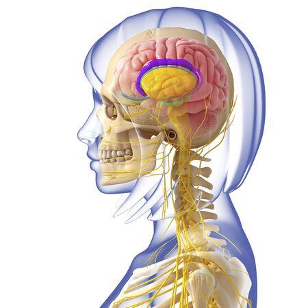 midbrain: Brain anatomy,artwork