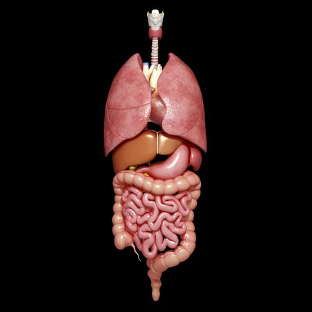 the stomach and intestines: Human organs,artwork