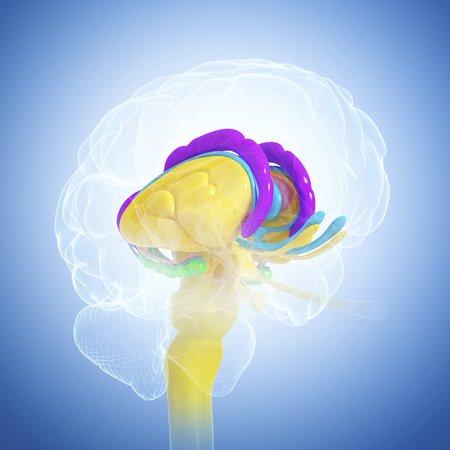 thalamus: Brain anatomy,artwork