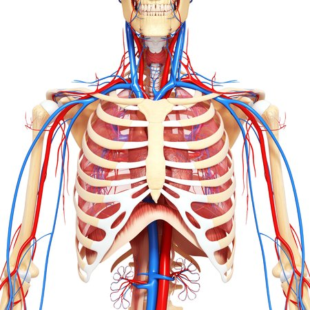 Chest Anatomy,artwork Stock Photo, Picture And Royalty Free Image ...