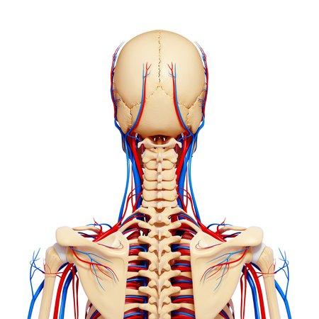 circulatory: Female anatomy,artwork