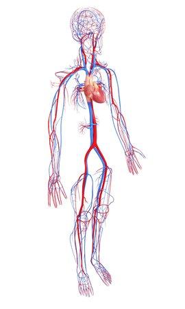 Herz-Kreislauf-System, Kunstwerk Lizenzfreie Fotos, Bilder Und Stock ...
