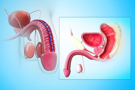 uretra: Sistema reproductivo masculino, obras de arte LANG_EVOIMAGES