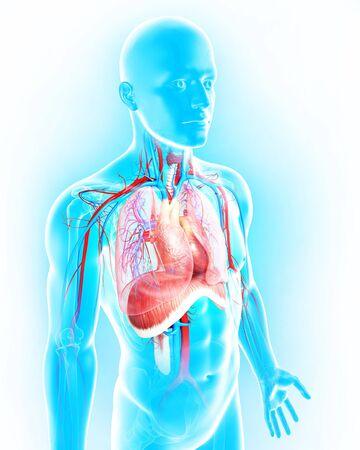 circulatory: Male anatomy,artwork