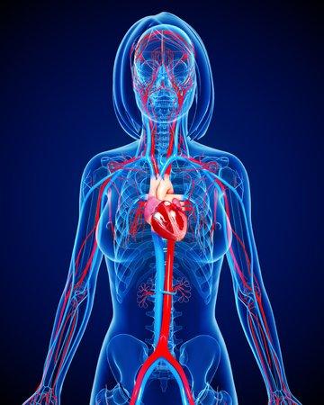 cava: Female cardiovascular system,artwork