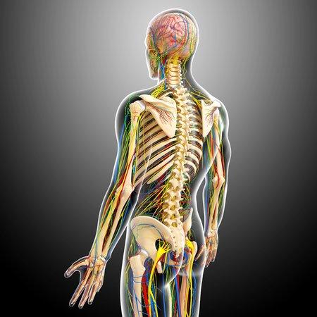 circulatory: Human anatomy,artwork LANG_EVOIMAGES