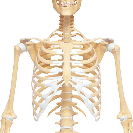collarbone images & stock pictures. royalty free collarbone photos, Skeleton