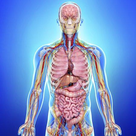 Human anatomy,artwork LANG_EVOIMAGES