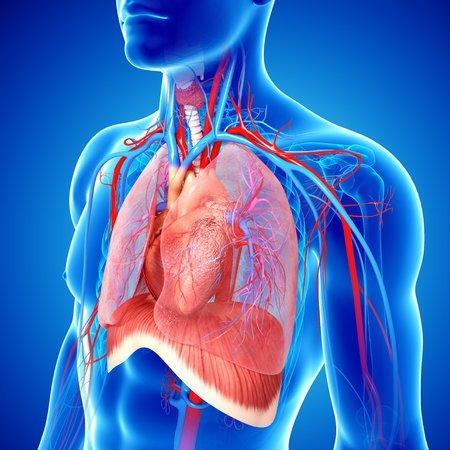 cava: Cardiovascular system,artwork