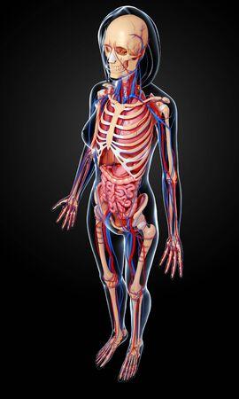 the stomach and intestines: Female anatomy,artwork