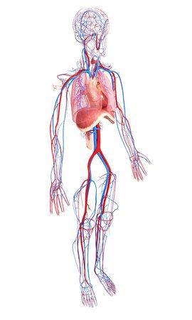 thorax: Human anatomy,artwork LANG_EVOIMAGES