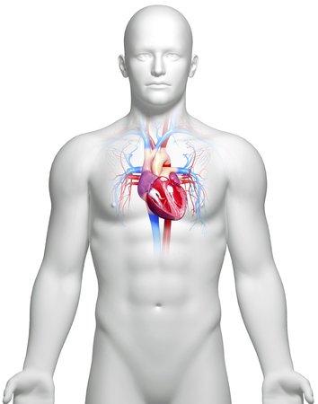 cava: Male heart,artwork LANG_EVOIMAGES