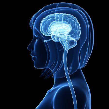 cerebrum: Brain anatomy,artwork