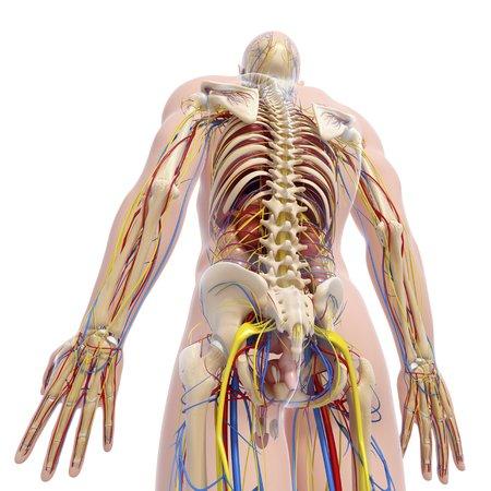 testes: Human anatomy,artwork LANG_EVOIMAGES
