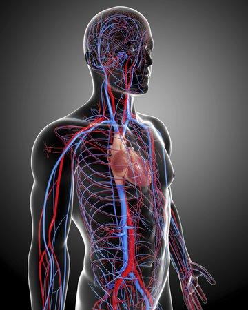 Cardiovascular system,artwork