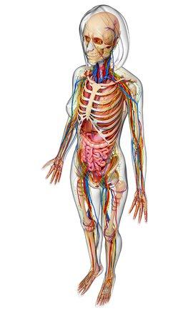 small intestine: Female anatomy,artwork
