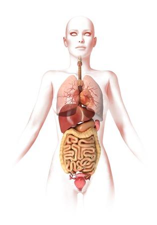 esofago: anatomía femenina, ilustraciones del ordenador LANG_EVOIMAGES