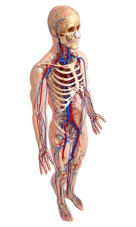 cava: Male anatomy,artwork