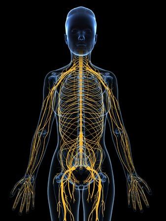 cns: Female nervous system,computer artwork