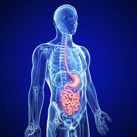 Male digestive system,artwork