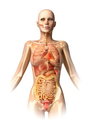 cecum: Female anatomy,computer artwork LANG_EVOIMAGES