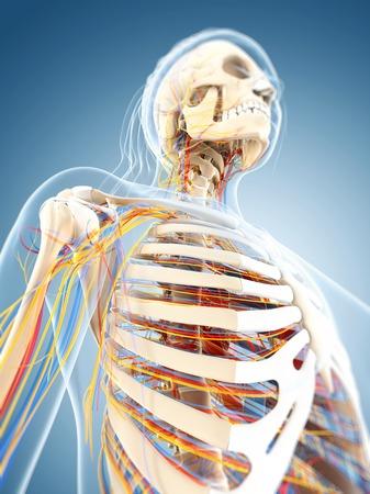 cns: Female anatomy,computer artwork LANG_EVOIMAGES