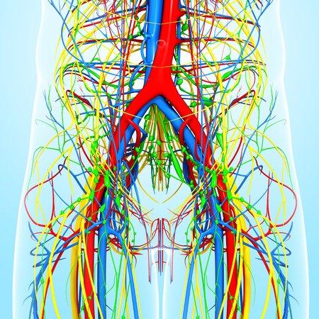 cava: Pelvis anatomy,artwork