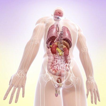 Male anatomy,artwork