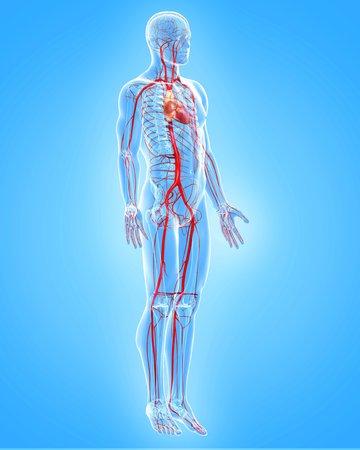 circulatory: Human arteries,artwork