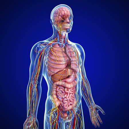 cerebrum: Male anatomy,artwork