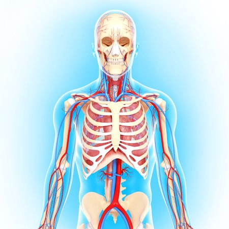 cava: Human anatomy,artwork LANG_EVOIMAGES