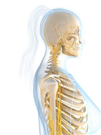 cns: Female nervous system,computer artwork.head and shoulders LANG_EVOIMAGES