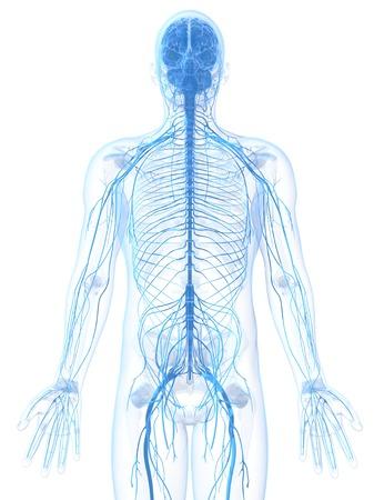 cns: Male nervous system,computer artwork