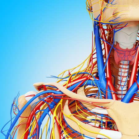 Upper body anatomy,artwork LANG_EVOIMAGES