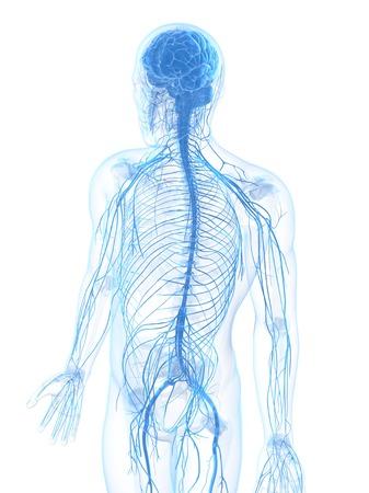 Male nervous system,computer artwork