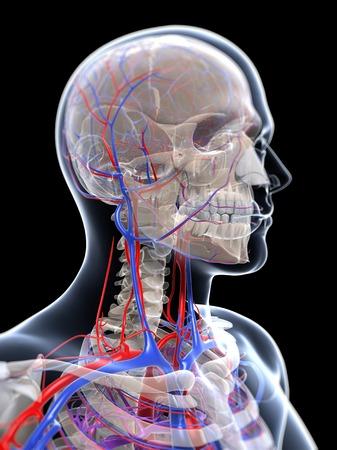 skeletal system: Male vascular system,computer artwork LANG_EVOIMAGES