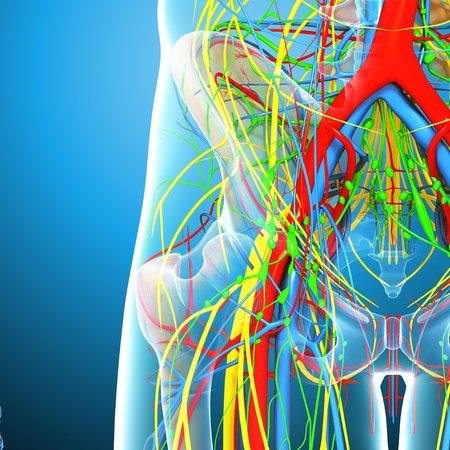 Pelvis anatomy,artwork