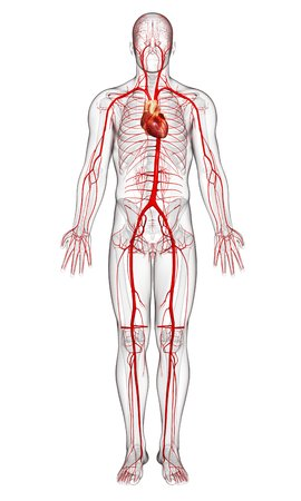 Human Arteries,artwork Stock Photo, Picture And Royalty Free Image ...