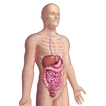 Healthy digestive system,artwork
