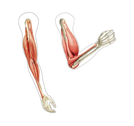Arm musculature.Computer artwork showing the muscles of the arm while relaxed (left) and flexed (right)
