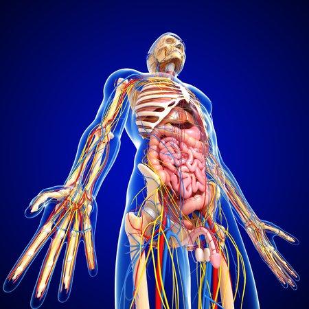 pelvis: Male anatomy,artwork