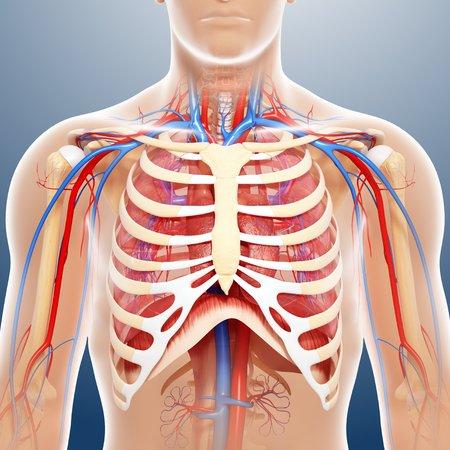 cava: Chest anatomy,artwork