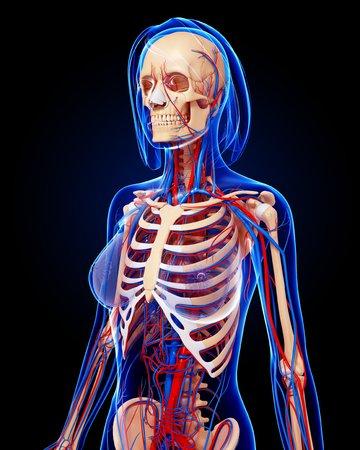 cava: Female anatomy,artwork